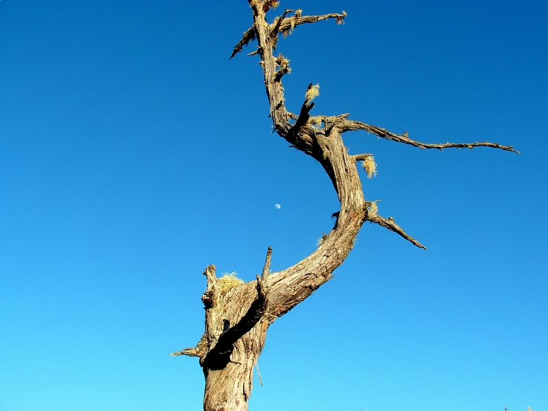 A shot of a tree, with the moon in the background.