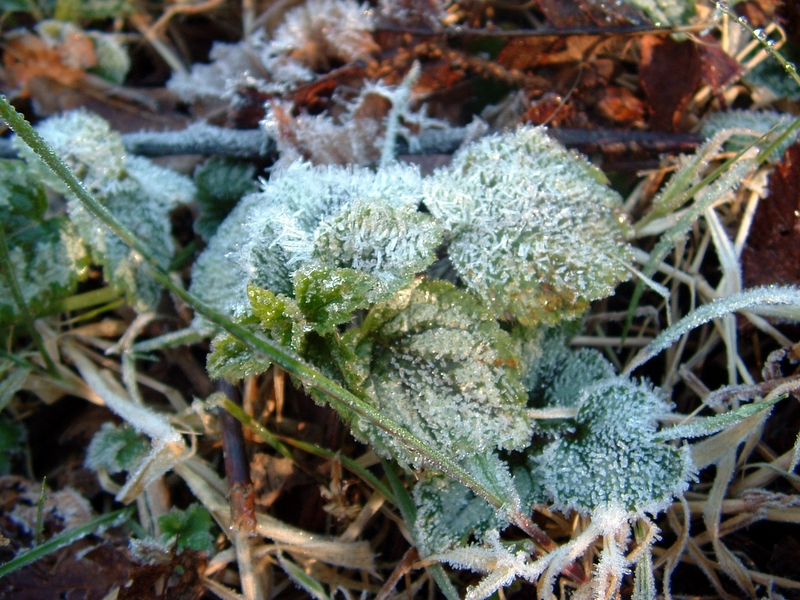 Ice crystals formed early in the morning on a very small plant in Tofino.